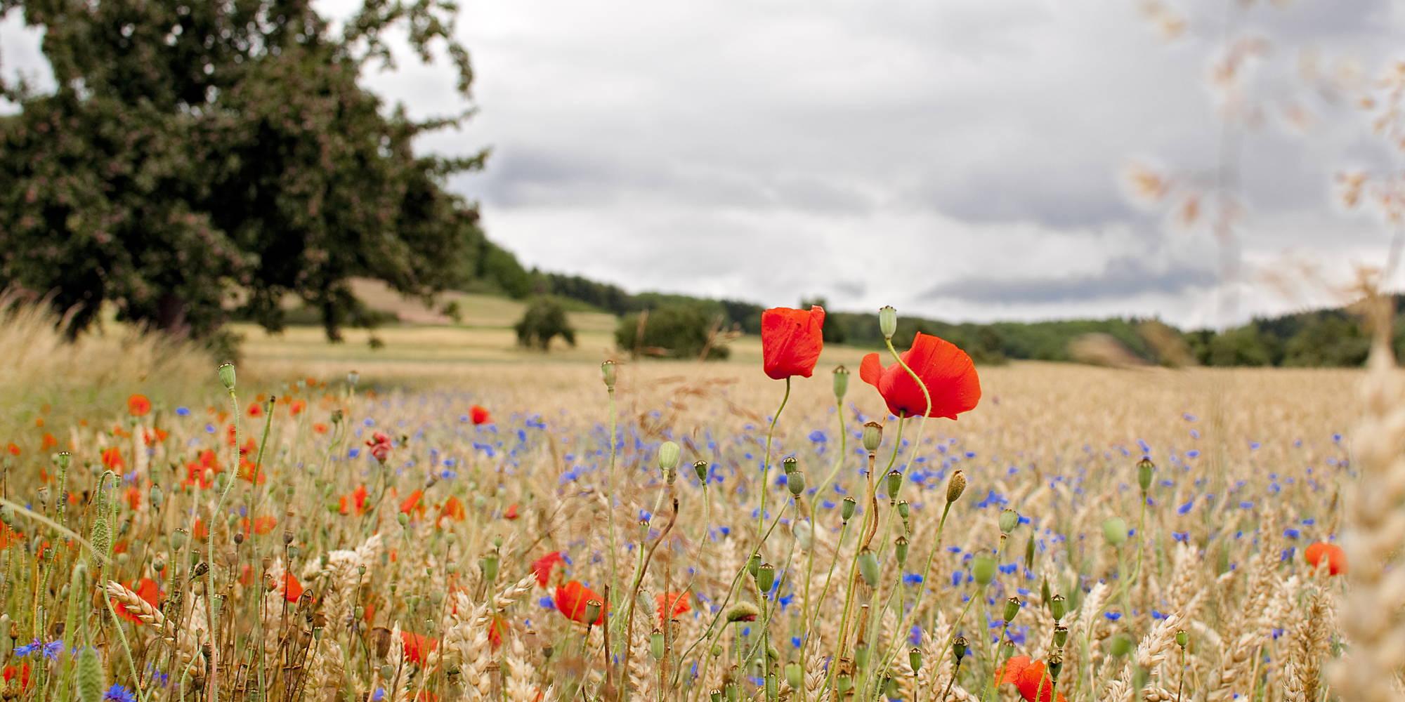 Mohnblumen in einem Feld